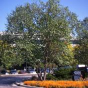 Location: office park in Lisle, IllinoisDate: summer in 1990'smature tree planted in a landscape