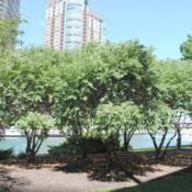 Photo of River Birch (Betula nigra Fox Valley®)
