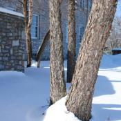 Location: Downingtown, PennsylvaniaDate: 2011-01-31mature trunk with bark