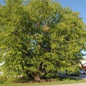 Location: Downingtown, PennsylvaniaDate: 2010-07-02mature planted tree in a yard
