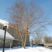 Location: Downingtown, PennsylvaniaDate: 2011-01-31mature tree in winter in a landscape