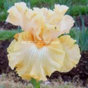 Photo of Tall Bearded Iris (Iris 'Laced Orangeade')