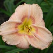 Photo of Daylily (Hemerocallis 'April in Paris')