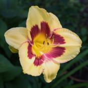 Photo of Daylily (Hemerocallis 'El Bandito')