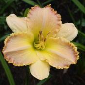 Photo of Daylily (Hemerocallis 'Pizza Crust')