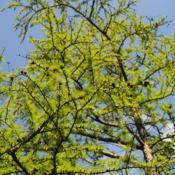 Photo of American Larch (Larix laricina)