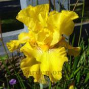 Photo of Tall Bearded Iris (Iris 'Asian Treasure')