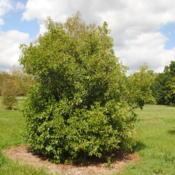 Location: In Birch Family Collection at Morton Arboretum in ILDate: 2017-09-05a mature shrub