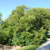 Location: Morton Arboretum in Lisle, ILDate: 2016-07-18full-grown shrub in summer
