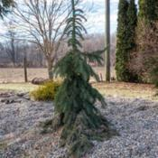 "Location: Clinton, Michigan 49236Date: 2017-02-19""Picea glauca 'Pendula' , 2017, Weeping [White Spruce], PYE-see-u"