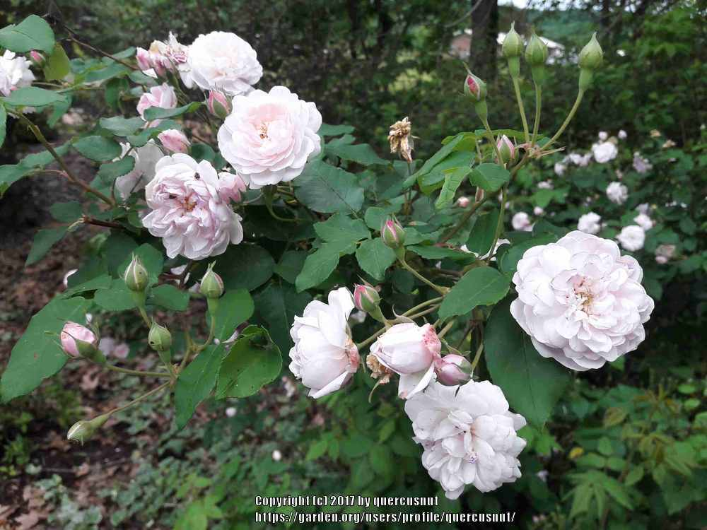 Photo of Rose (Rosa 'Blush Noisette') uploaded by quercusnut