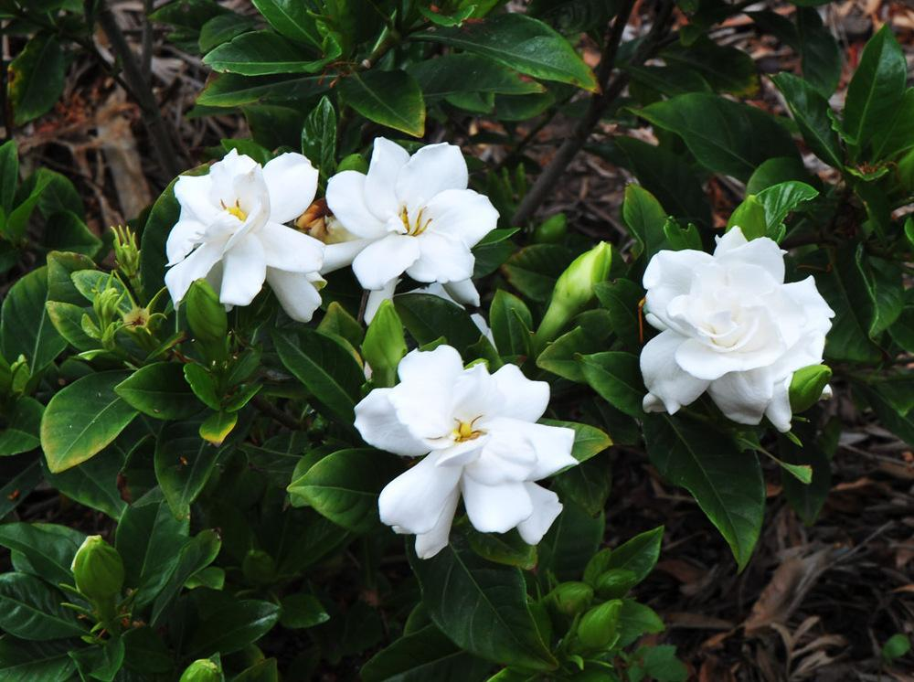 Photo of Gardenia (Gardenia jasminoides) uploaded by BarbandDave