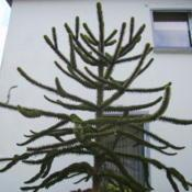 Location: Near Duisburg, GermanyDate: 2008-01-2210:48 am. The exotic Monkey Puzzle Tree is hardy to -20