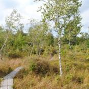 Location: Thomas Darling Preserve near Blakeslee, PADate: 2016-09-13some Gray Birches in the bog