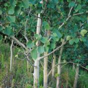 Location: near Neenah, WisconsinDate: August 2013maturing trunks and foliage