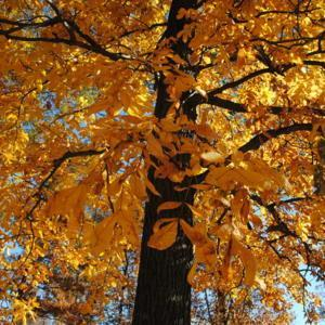 looking up trunk and crown of tree in fall color