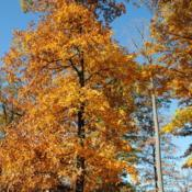 Location: Smyrna Rest Station off Rt #1 in DelawareDate: 2016-11-18looking up the tree in fall color