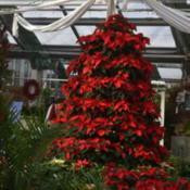 "Location: MaineDate: 2017-11-25Poinsettia ""Tree"" @ Longfellow's Green House, Maine"