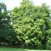 Location: southeast PennsylvaniaDate: 2011-08-16a catalpa tree with other pioneer trees