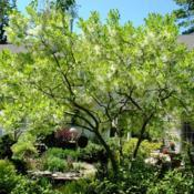 Location: near West Chester, PennsylvaniaDate: 2010-05-10full-grown tree in bloom