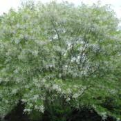 Location: West Chester, PennsylvaniaDate: 2015-05-22tree in bloom