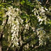 Location: West Chester, PennsylvaniaDate: 2010-05-10white flowers in hanging clusters