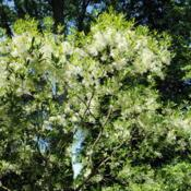 Location: West Chester, PennsylvaniaDate: 2010-05-10white flowers on branches