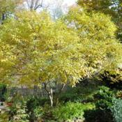 Location: West Chester, PennsylvaniaDate: 2011-10-31full-grown tree in autumn