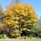 Location: West Chester, PennsylvaniaDate: 2011-11-07full-grown tree in autumn