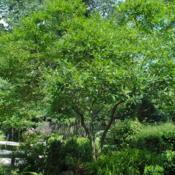 Location: near West Chester, PennsylvaniaDate: 2010-08-09full-grown tree in summer