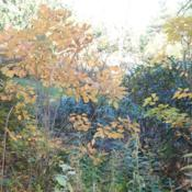 Location: Jenkins Arboretum in Berwyn, PADate: 2014-10-26maturing shrubs with orangy-yellow fall color