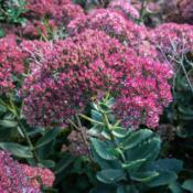 "Location: Clinton, Michigan 49236Date: 2016-10-02""Sedum telephium 'Autumn Joy', 2016, Stonecrop, SEE-dum"