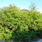 Location: Romeoville, IllinoisDate: 2012-08-20mature shrub planted at a history museum