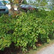 Location: Chesterbrook, PennsylvaniaDate: 2015-09-04a mass planted in gulley along a parking lot