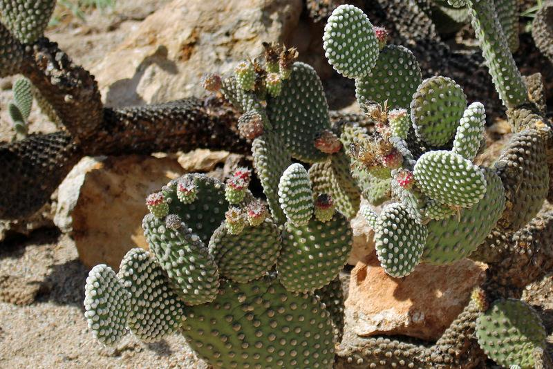 Photo of Bunny Ears (Opuntia microdasys) uploaded by RuuddeBlock