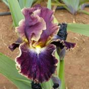 Location: Catheys Valley CaliforniaPhoto courtesy of Superstition Iris Gardens, posted with permissi