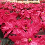 Location: Bordine Nursery, Rochester, MIDate: 2009-11-29