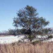 Location: Sugar Grove, IllinoisDate: winter in 1980'sa lone specimen planted near a highway