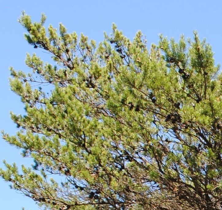 Photo of Jack Pine (Pinus banksiana) uploaded by ILPARW