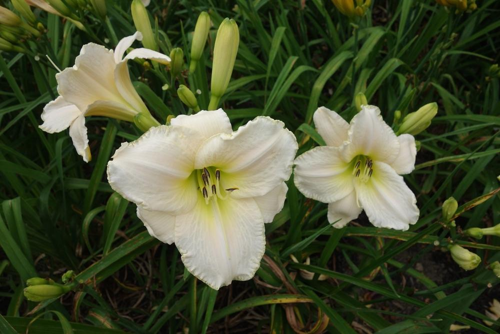 Photo of Daylily (Hemerocallis 'White Perfection') uploaded by mantisOH