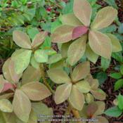 Location: Daytona Beach, FloridaDate: 2014-09-19Leaves, Euphorbia bicompacta var. Rubra