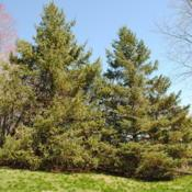 Location: West Chester, PennsylvaniaDate: 2011-03-29two planted mature specimens