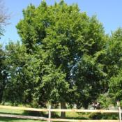 Location: Kerr Park in Downingtown, PennsylvaniaDate: 2017-08-05full-grown tree in park