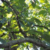 Location: Elm Collection of Morton Arboretum in Lisle, ILDate: 2017-09-05foliage and the corky branches
