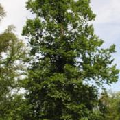 Location: Elm Collection of Morton Arboretum in Lisle, ILDate: 2015-06-19a mature tree in summer