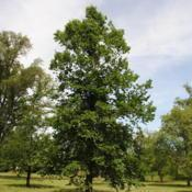 Location: Elm Collection of Morton Arboretum in Lisle, ILDate: 2015-06-19the second mature tree