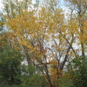 Location: West Chester, PennsylvaniaDate: 2010-10-25a second maturing tree in fall color