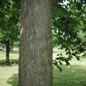 Location: Elm Collection of Morton Arboretum in Lisle, ILDate: 2015-06-19a portion of trunk