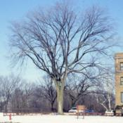 Location: Aurora, IllinoisDate: winter in mid-1980'sfull-grown tree in winter