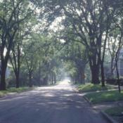 Location: Hinsdale, IllinoisDate: summer in late 1990'sfull-grown elms along street